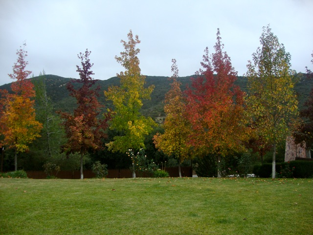 Our maple trees in autumn